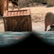 cerdos angry birds 2